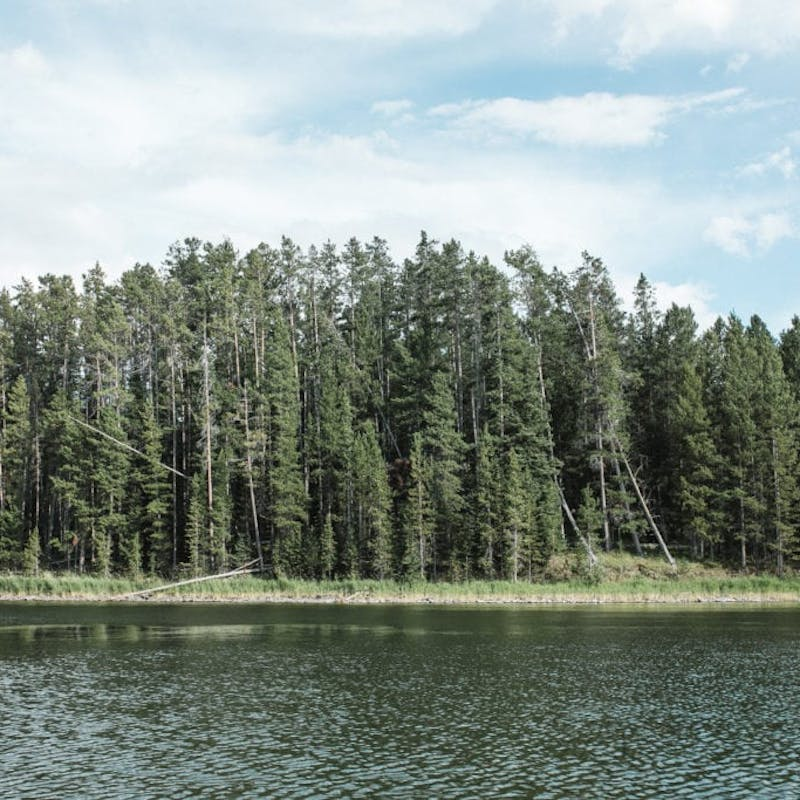Thick cluster of pine trees surrounded by lake