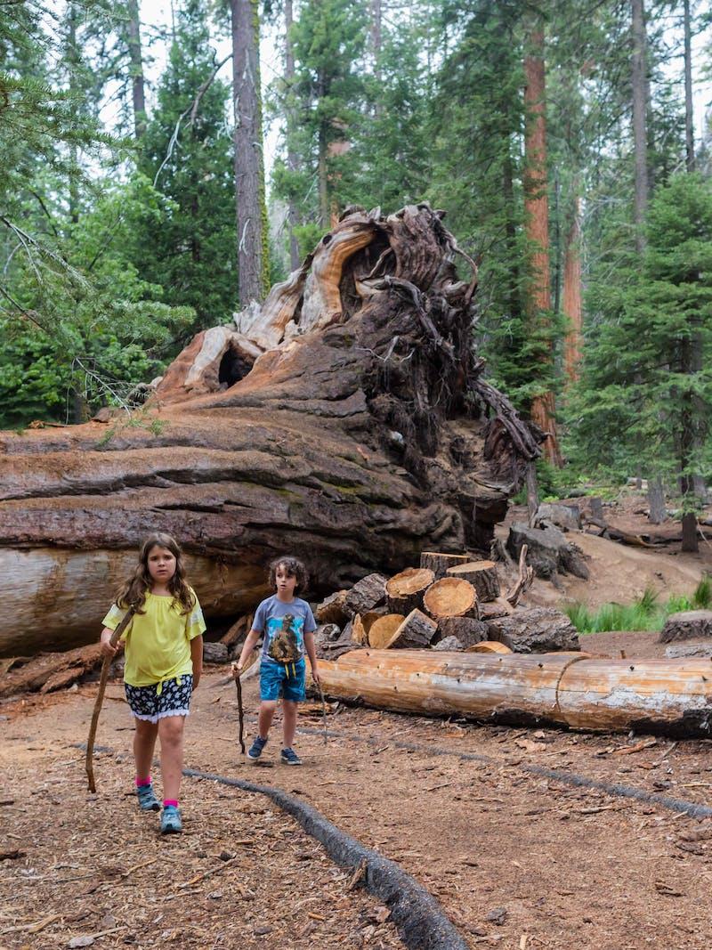 Desiree Walters' children walk in front of a massive fallen tree.