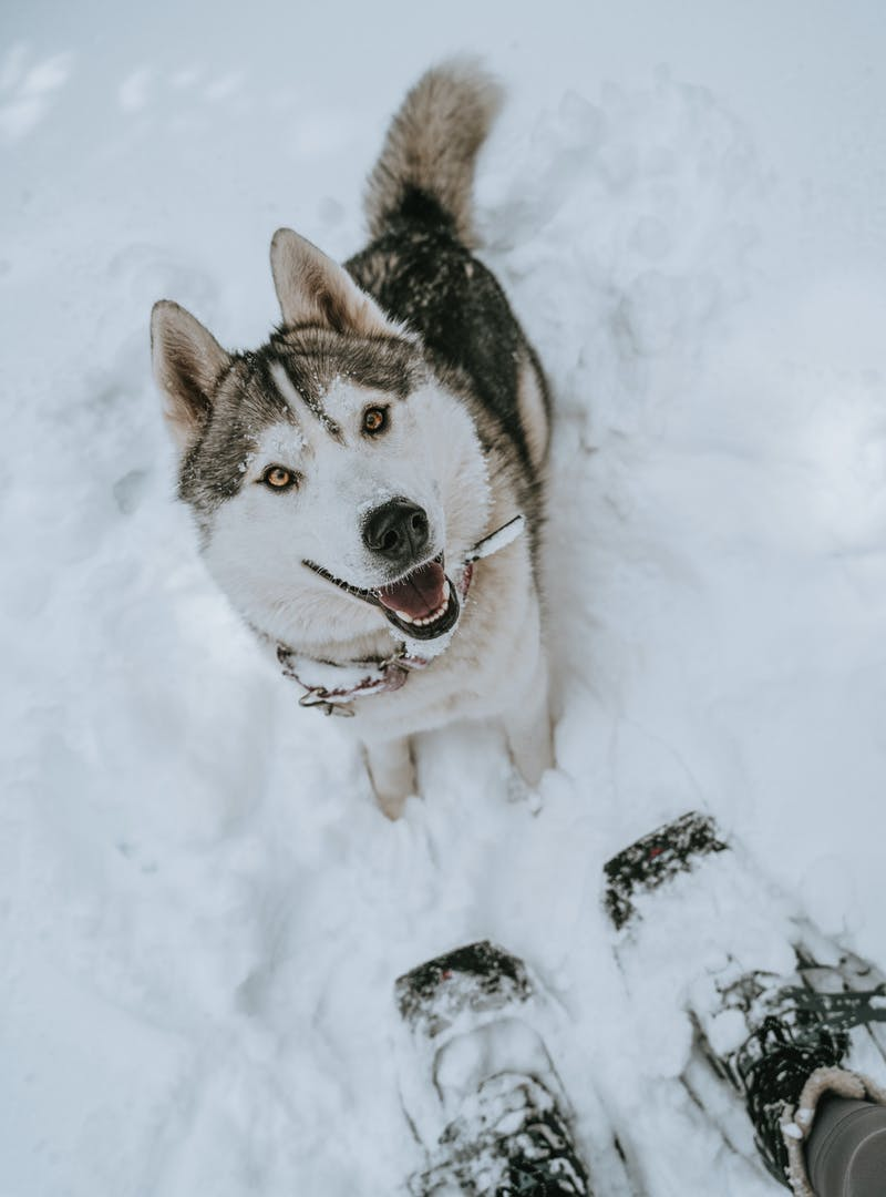 A sweet husky looking up at its owner from the ground blanketed in snow.