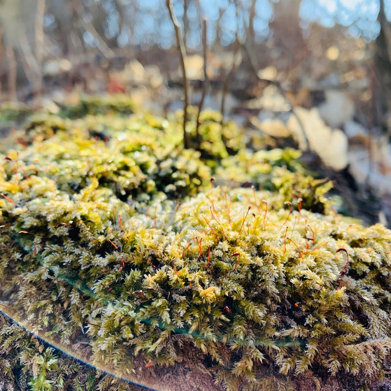 Close up of green and gold moss growing on fallen log in forest