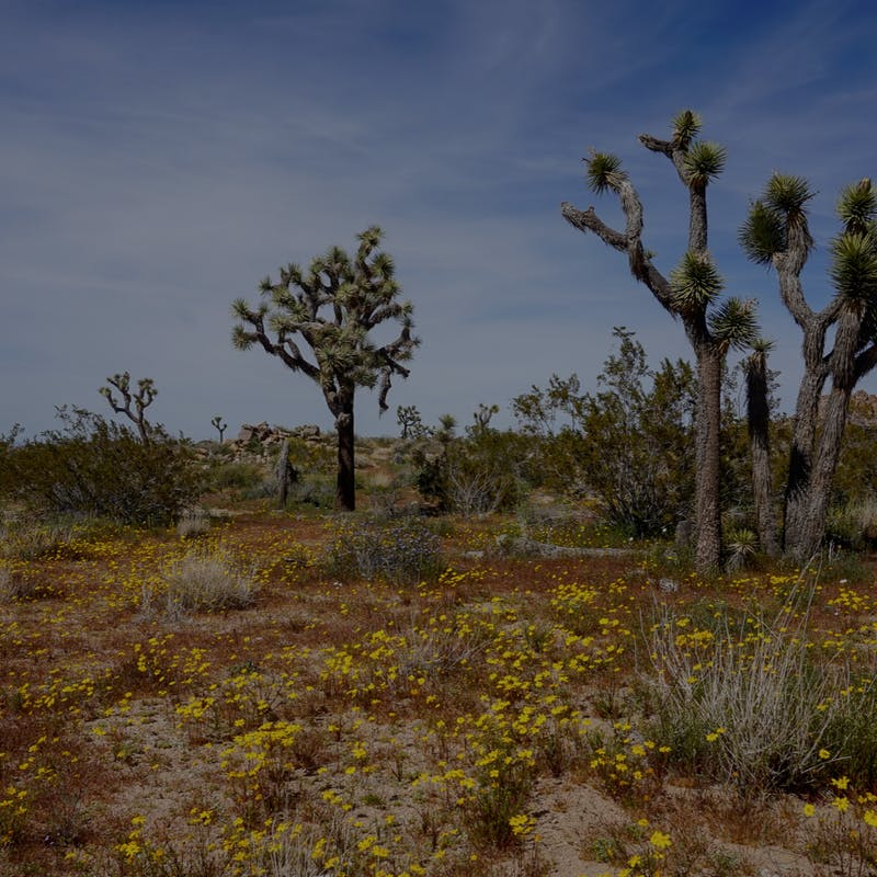 Desert cactus and yellow flowers in Joshua Tree National Park