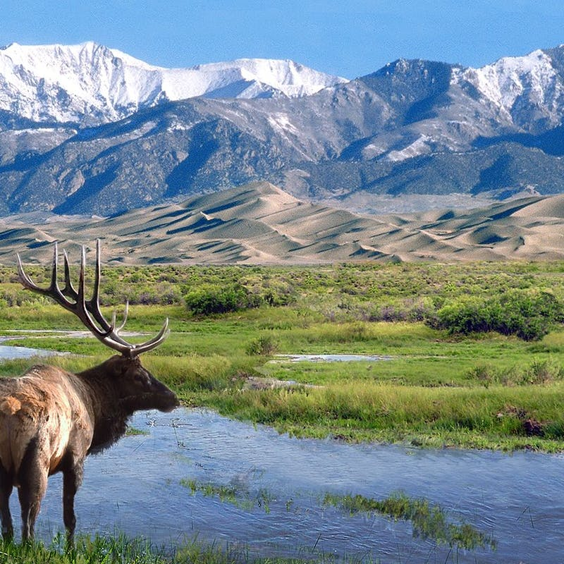 Single large elk standing near a grassy river at Great Sand Dunes National Park in Colorado