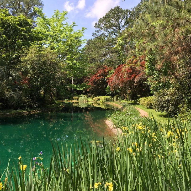 Alfred B. Maclay Gardens State Park with green pond, yellow daffodils, bushes, and lots of green trees in Tallahassee, Florida.
