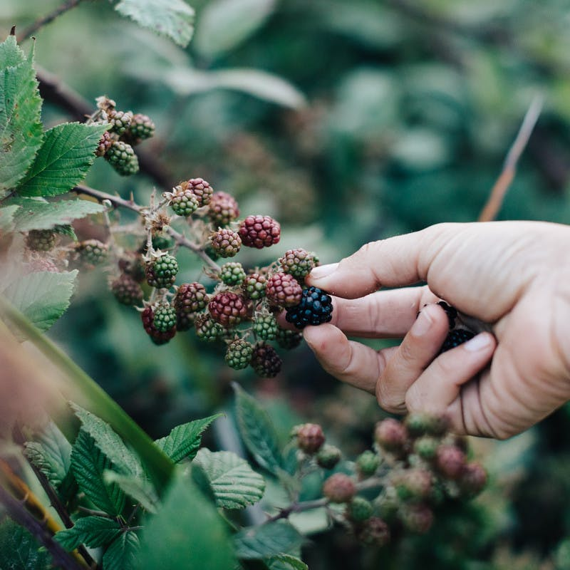 A hand picking fresh berries off a bush.