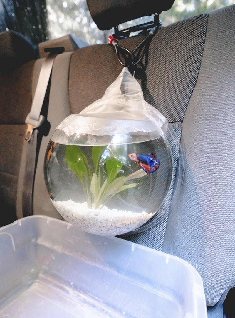 A fish bowl hanging from the passenger seat by a carabiner, over a tub to catch any spills.