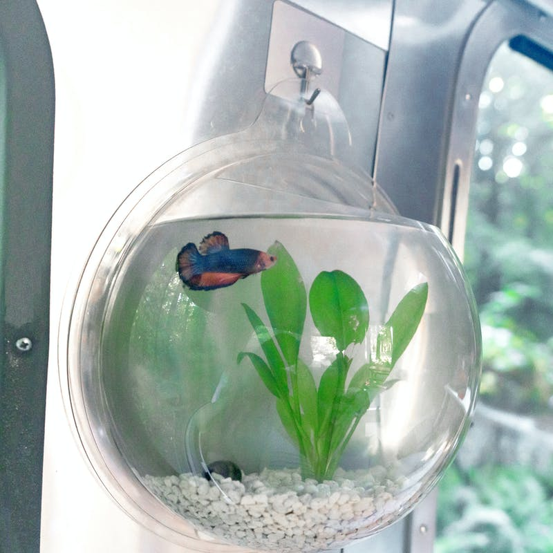 A fish and a snail in a wall-mounted fish bowl.