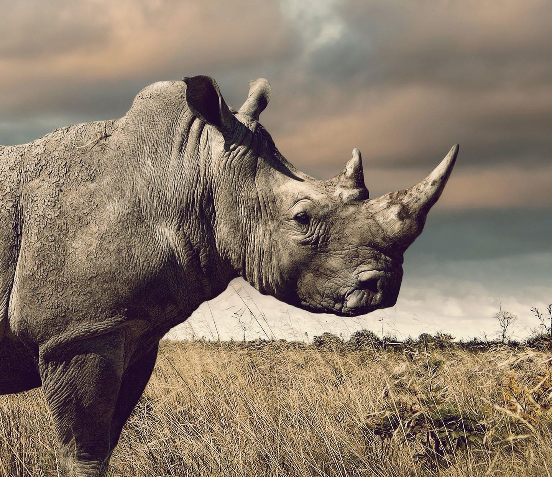Rhino standing in the desert