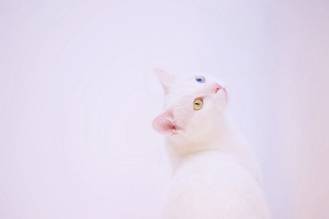 white cat with green and blue eye