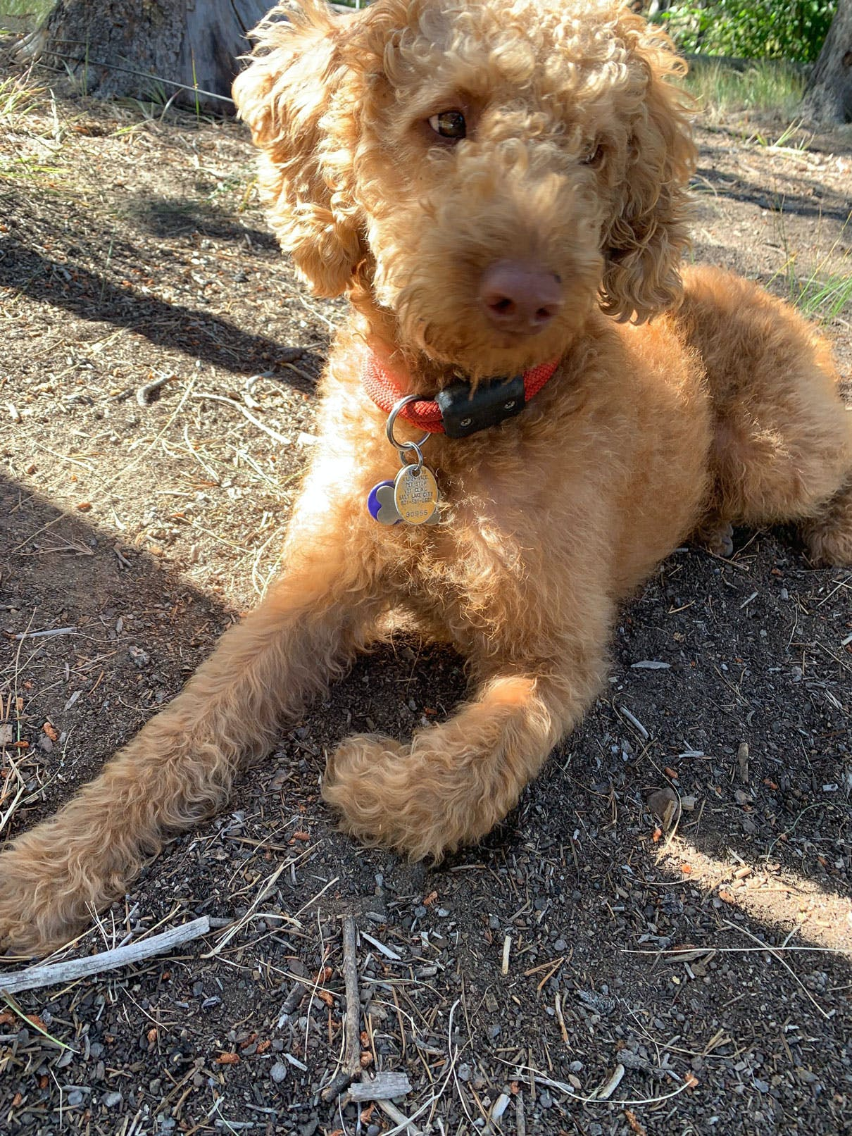 golden doodle laying on ground looking to the right
