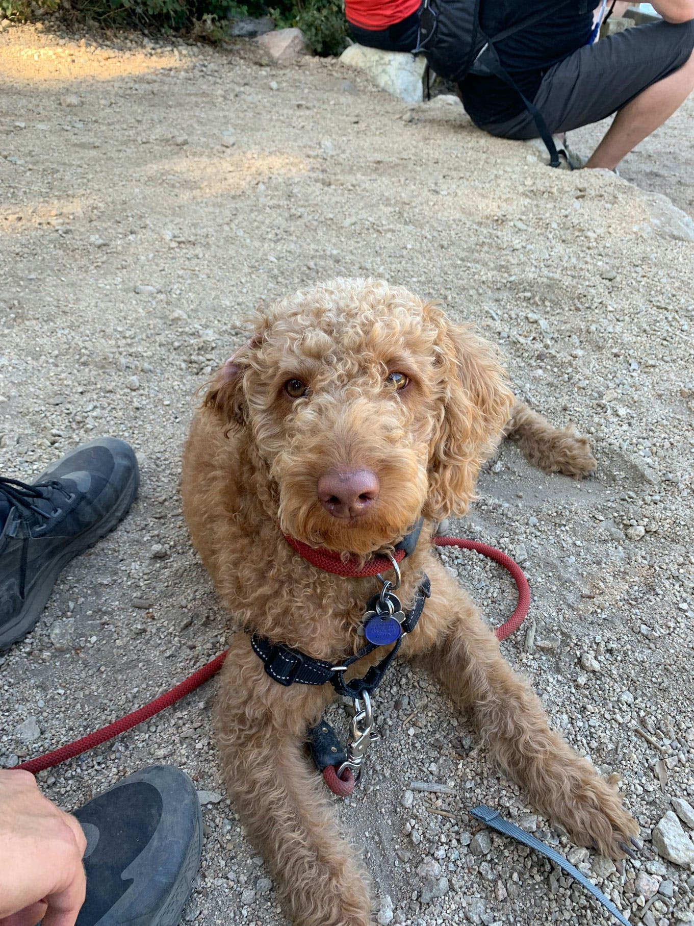 very cute goldendoodle with red leash