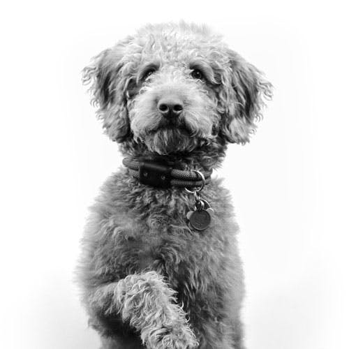 golden doodle holding up his paw
