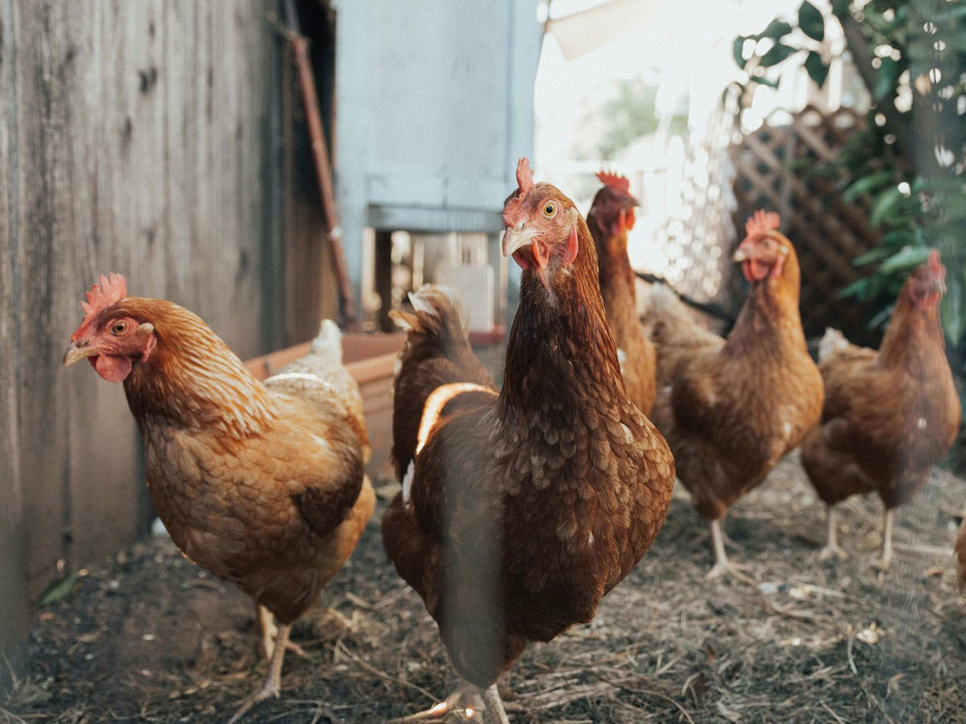 group of chickens
