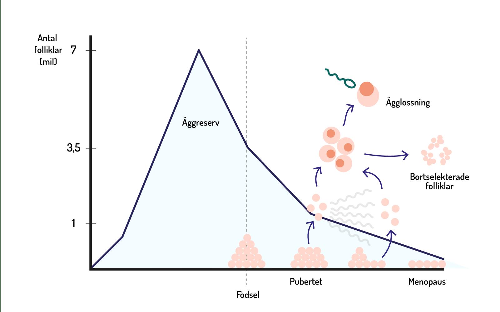 Illustration av sambandet mellan antal folliklar och livscykel