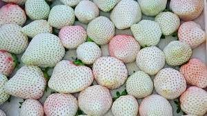 A bushel of Japanese White Jewel strawberries. Varios strawberries colored white, green, and red.
