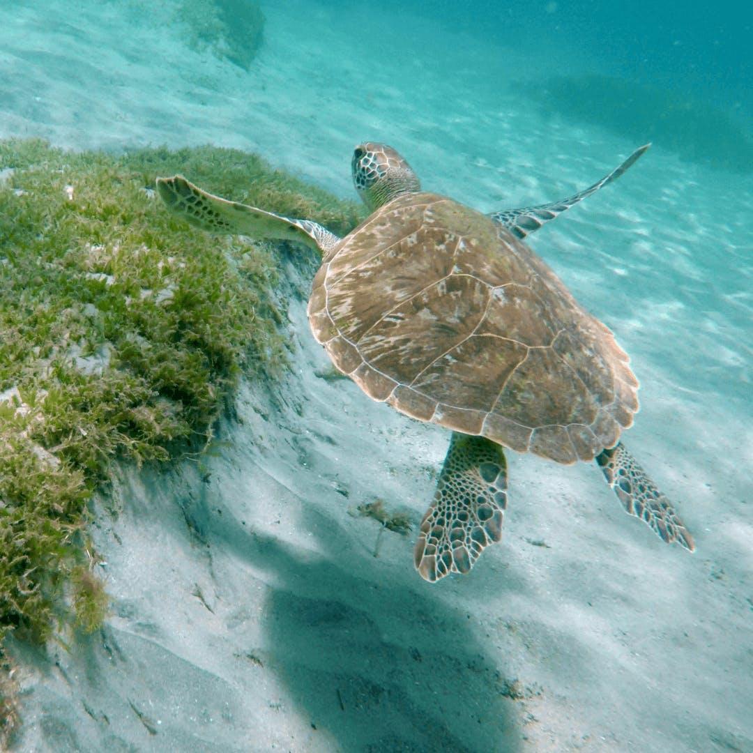 Turtle in Martinique