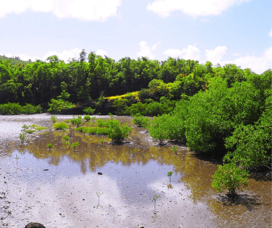 Mangrove en Martinique à la Presqu'ile de la Caravelle
