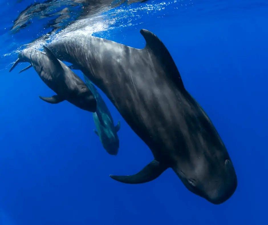 Photos de dauphins Globicéphale tropical