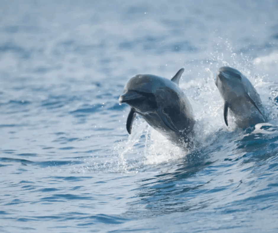 Photo de dauphins en Martinique