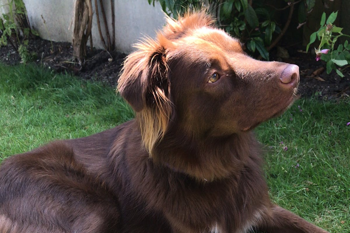 A brown dog sitting on a green lawn