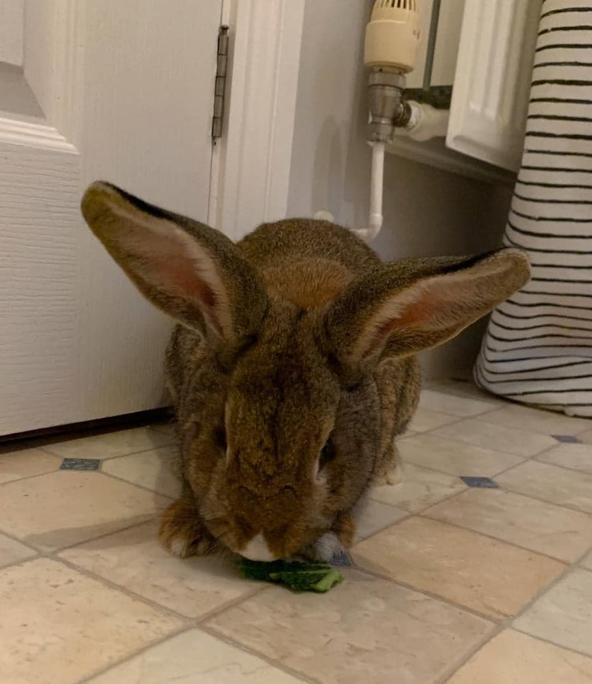 Rabbit named Ivor chewing on cabbage.