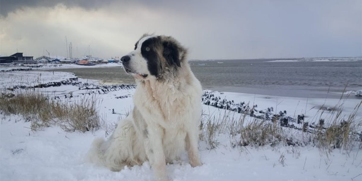 A Pyrenean Mastiff standing in the snow