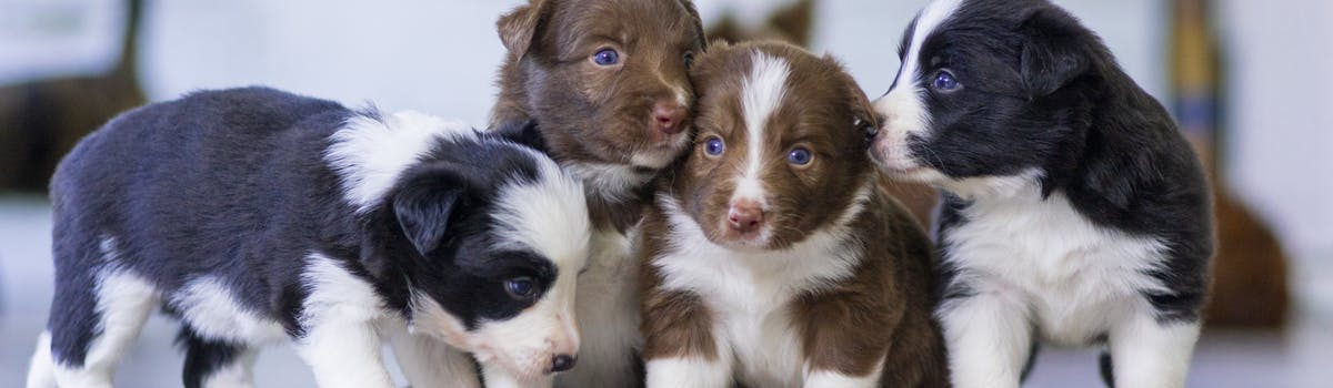 A group of four puppies