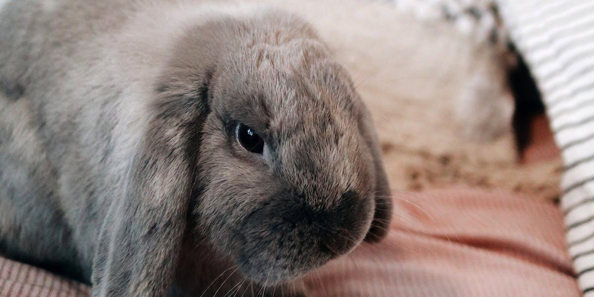 A grey rabbit