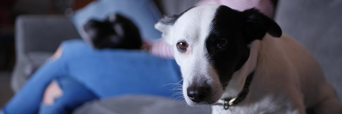 A small black and white dog looking at the camera
