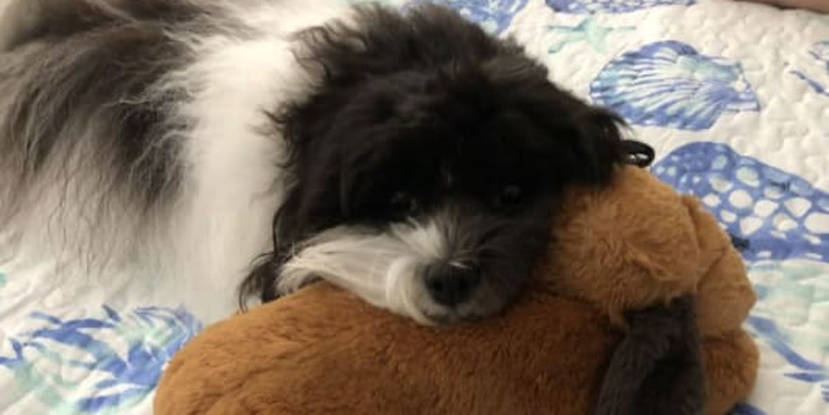 A Havanese dog laying on a bed with its head on a plush toy
