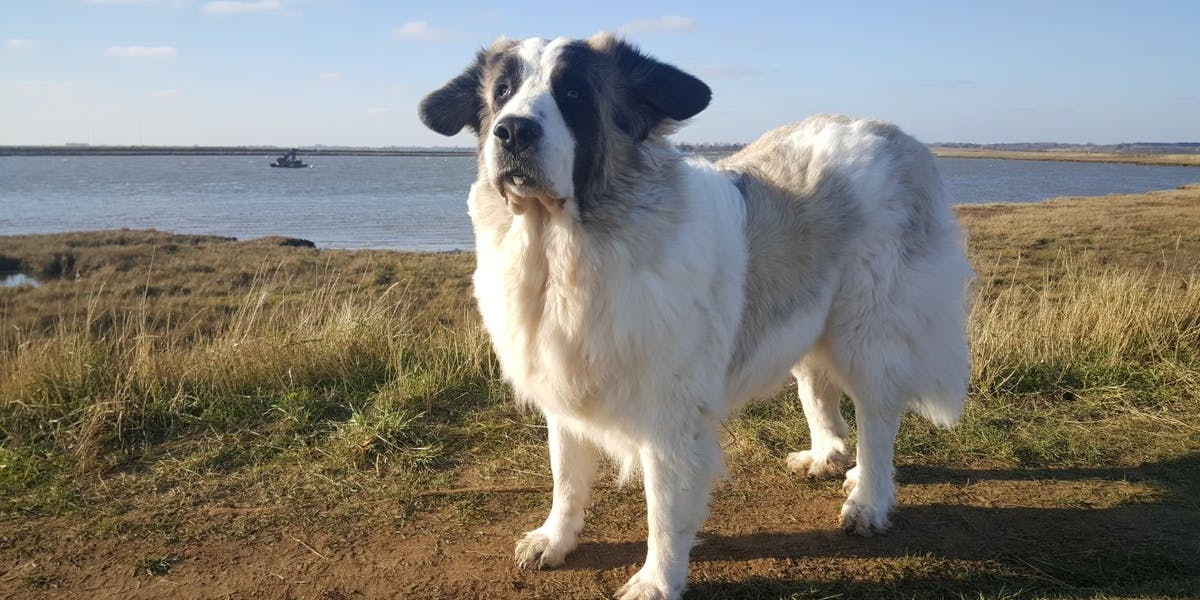 A Pyrenean Mastiff standing atop a cliff