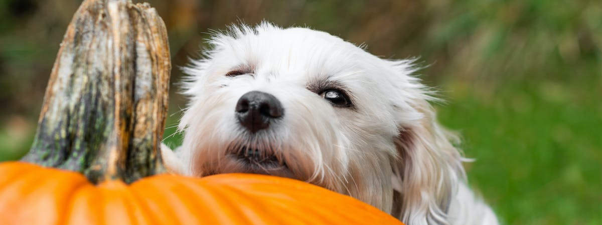 A small white dog resting its head on a large pumpkin