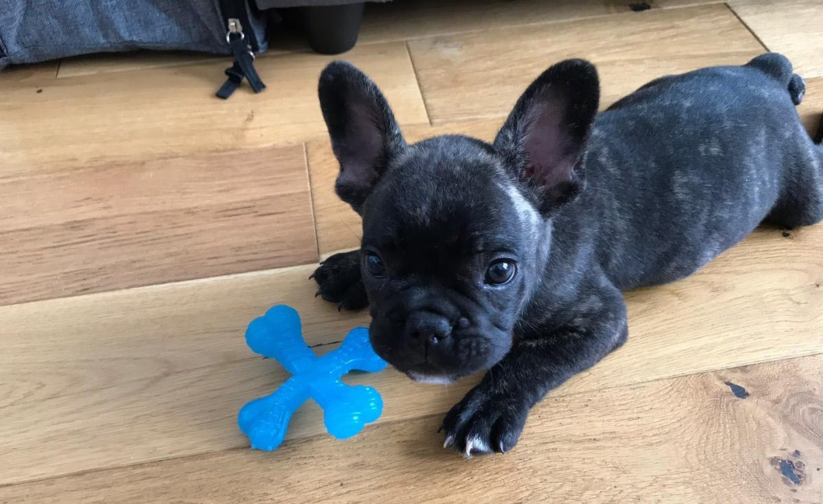 puppy french bulldog on floor with blue toy