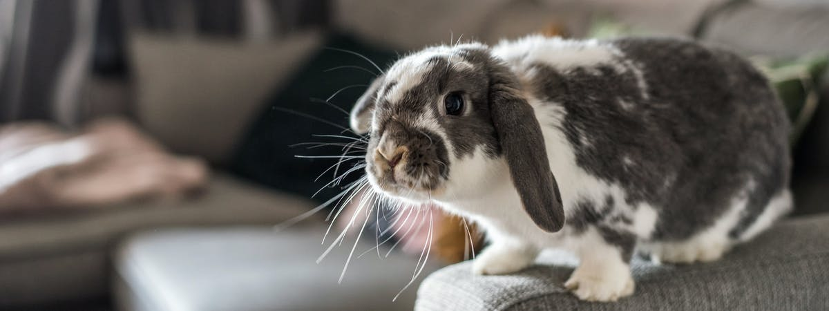 A grey and white rabbit perching on the arm of a grey sofa
