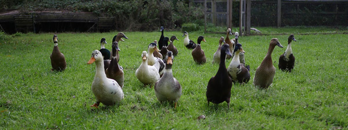 Ducks in a green garden.