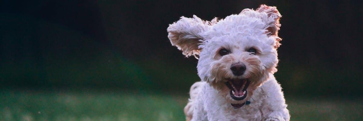 A small white dog running through a field