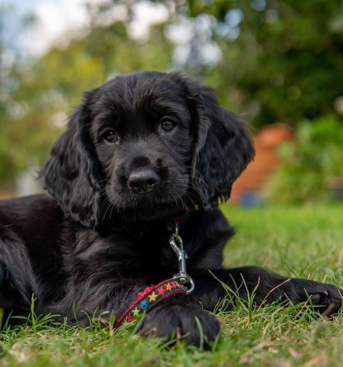 Black Working Cocker Spaniel Puppy