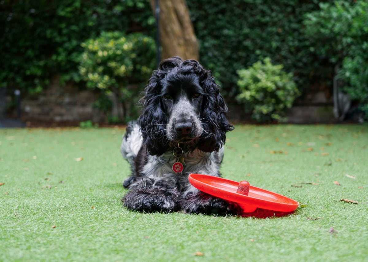 Spaniel with red frisbee
