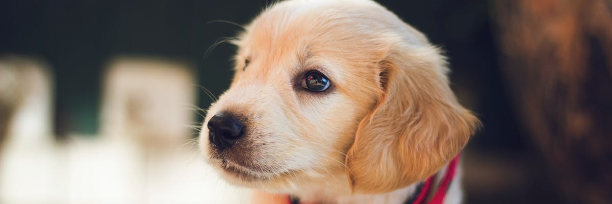 A golden retriever puppy looking to the left-hand side