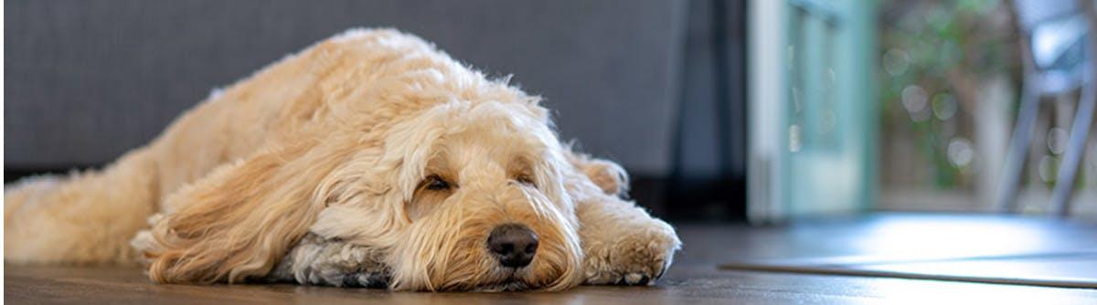Golden Doodle sleeping