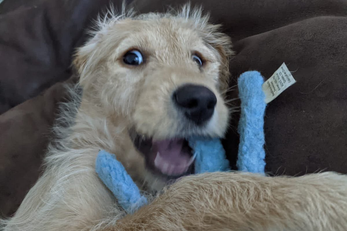 A puppy holding a blue toy, looking excitedly at the camera