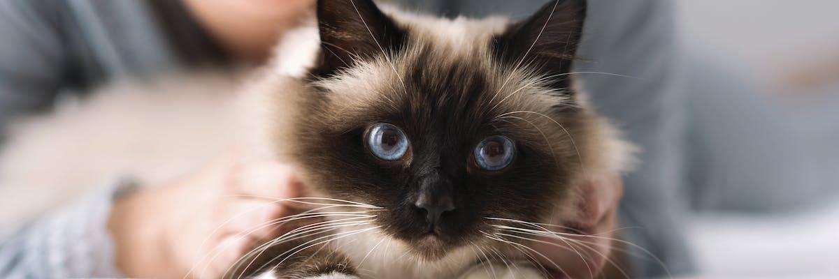 A birman cat looking at the camera