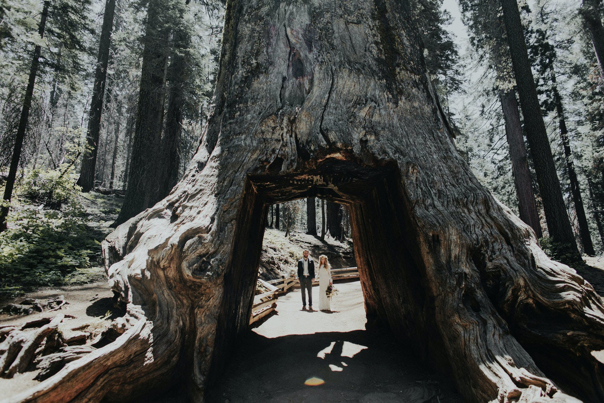 biggest tree in yosemite