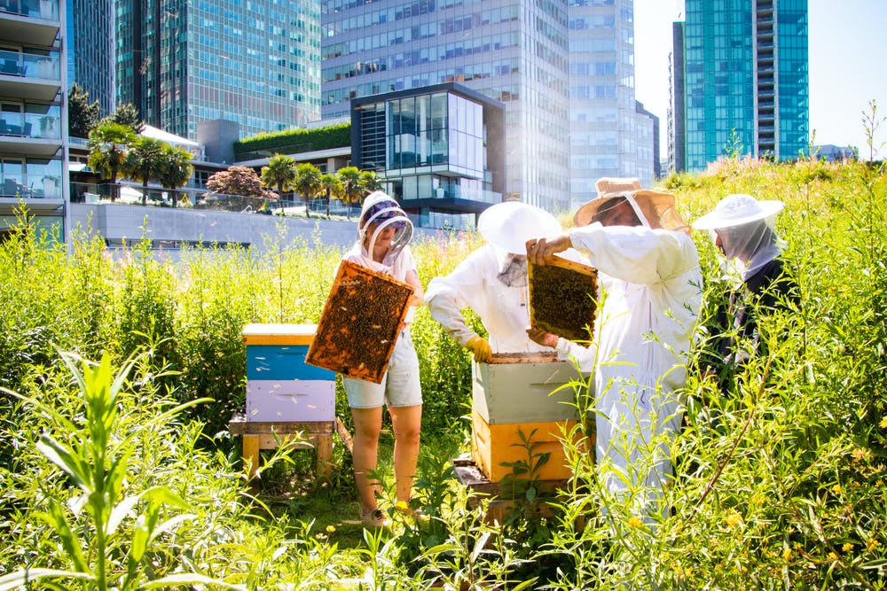 Bee hives on Vancouver Convention Centre's living roof