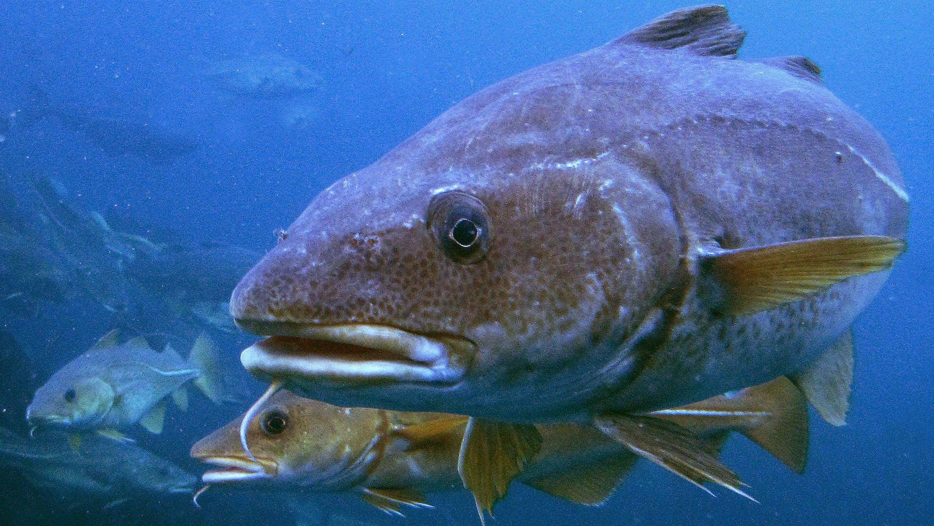 Stenfiskeri var en af grundene til, at torskebestanden blev reduceret så meget i Danmark. Foto af: Per Harald Olsen/NTNU
