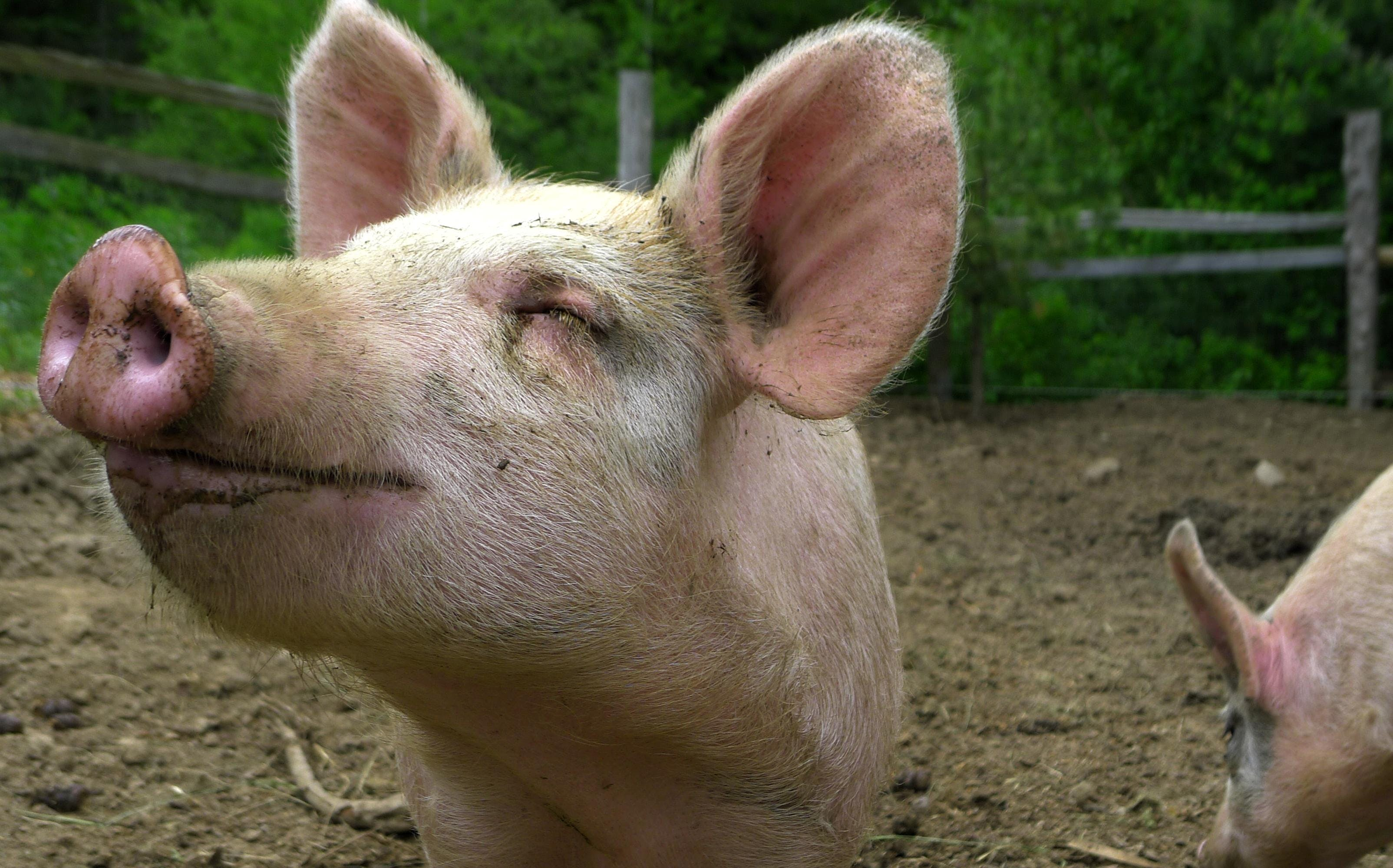 Den nye dyrevelfærdslov betyder at alle dyr bliver anerkendt som sansende væsner. Det kan betyde, at grise nu så vidt muligt får lov til at beholde deres haler og bliver bedøvet ved kasteration. Foto: CCBY Brother M.