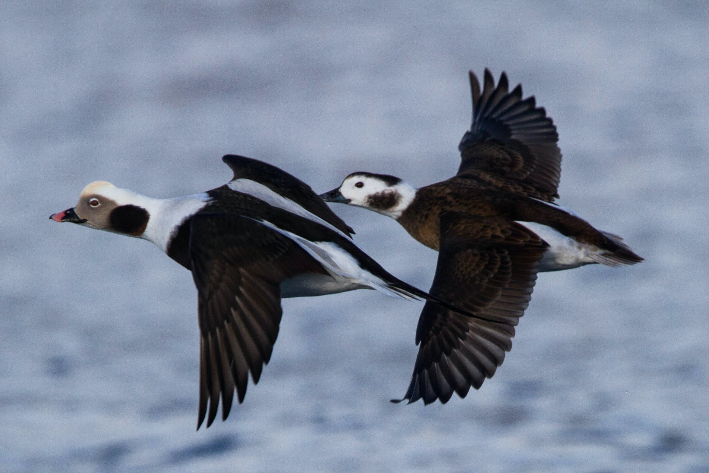 Havliten er en af de fire fuglearter, der bliver fredet fra jagt i Danmark. Foto: Ron Knight CCBY