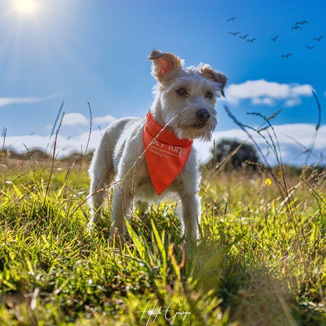 Picture of a white dog wearing a st mungos bandana