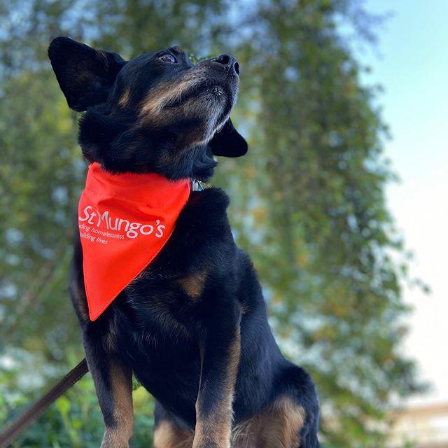 Picture of a dog wearing a st mungos bandana