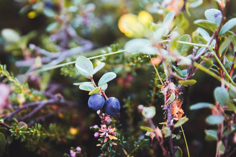 Blueberries in Iceland
