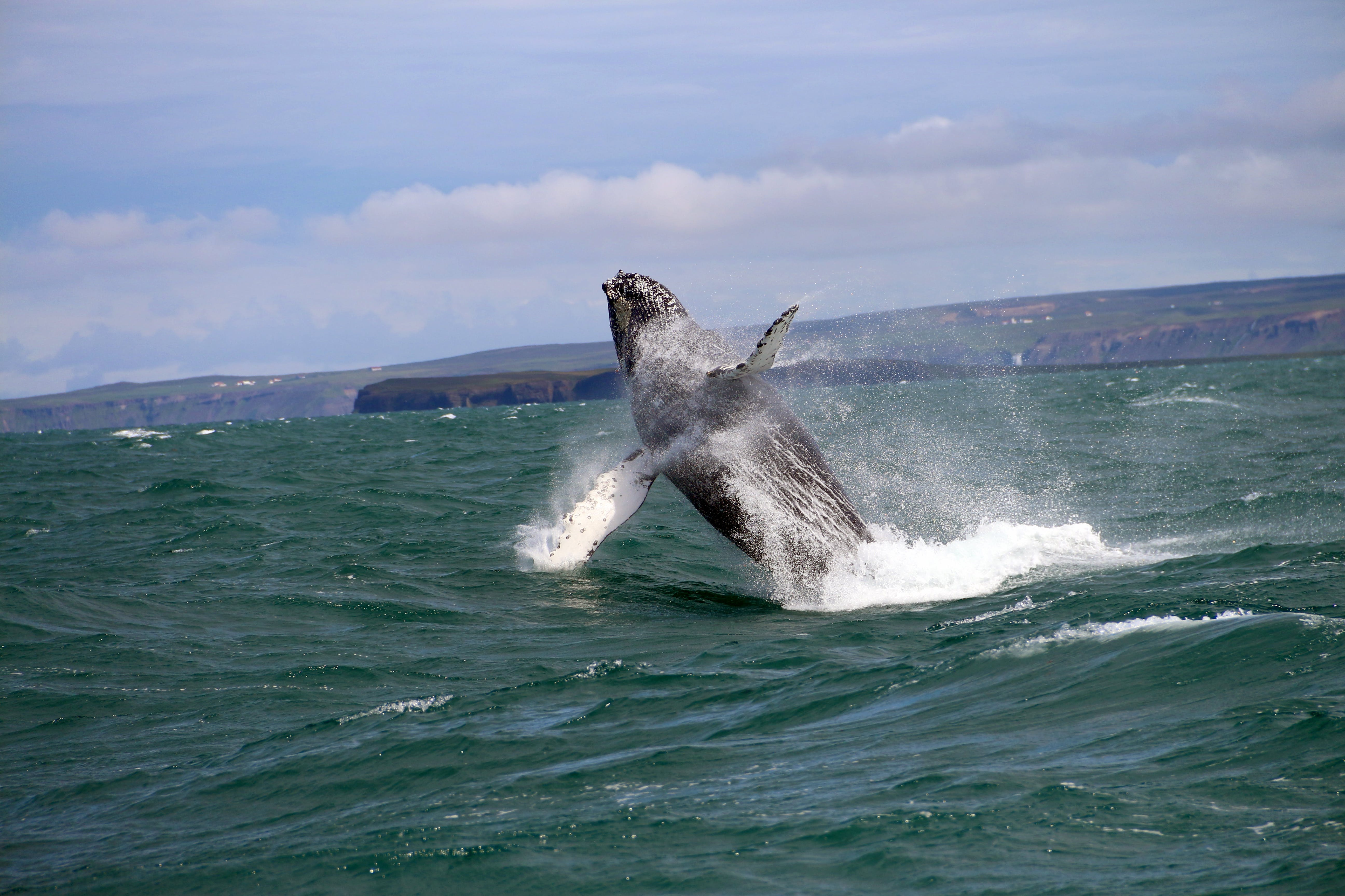 Humpback whale in Iceland